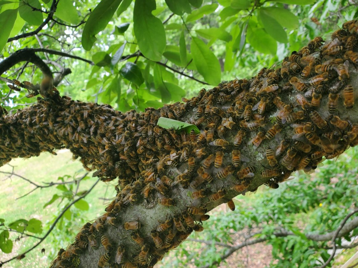 A swarm of Tony's bees takes to the trees. The bees help pollinate trees and crops.